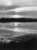 Swan Sunset Impressão fotográfica