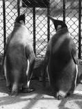 Penguin Pals Photographic Print