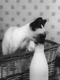 Siamese Cat Gets Cream Photographic Print