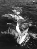 Swans Landing Impressão fotográfica