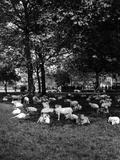 Sheep in Hyde Park 1933 Photographic Print