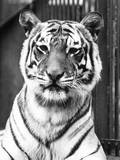 Tiger Close-Up Photographic Print