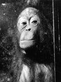 Squashed Orangutan Photographic Print