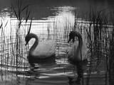 Reed Swans Impressão fotográfica