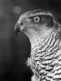 Head of a Goshawk Papier Photo