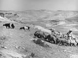 Israeli Shepherd Photographic Print
