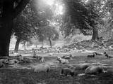 Sheep in Hyde Park Photographic Print