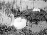 Nesting Swans Impressão fotográfica
