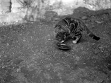 A Cat Drinking Photographic Print
