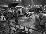 Cattle Market Photographic Print