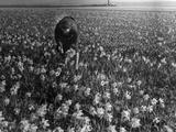 Daffodil Field - Fotografik Baskı