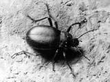 Common Beetle Photographic Print