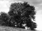 Ash Tree Photographic Print