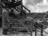 Unloading Sheep Photographic Print