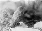 Kea Parrot 1930S Photographic Print