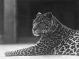 Reclining Leopard Photographic Print