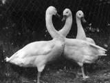 Three Swans Impressão fotográfica