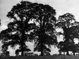 Elm Trees Photographic Print