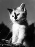 Black Nose Kitten Photographic Print
