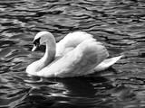 Swan Study Impressão fotográfica