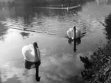 Swimming Swans Impressão fotográfica