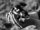 Birds, Lapwing Chicks Photographic Print