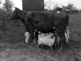 Cow Suckling Lambs Photographic Print