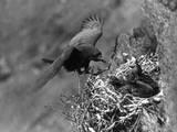 Birds, Raven Photographie