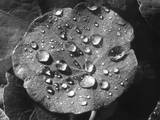 Nasturtium Raindrops Photographic Print