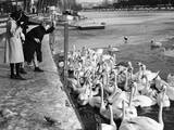 Feeding the Swans Impressão fotográfica