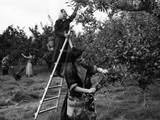 Girls Picking Apples Photographic Print