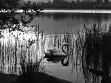 Swan Among Reeds Impressão fotográfica