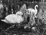 Swan Pen and Her Cygnets Impressão fotográfica