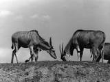 Eland Antelopes Photographic Print