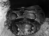 African Python Photographic Print