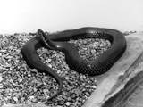 A Snake Photographic Print