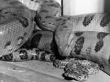 Anaconda Photographic Print