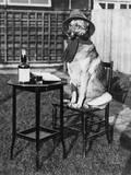 German Shepherd Smoking Reprodukcja zdjęcia