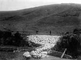 Kiwi Sheep Farming Photographic Print