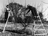 Pruning an Apple Tree Photographic Print