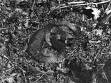 Grass Snake Photographic Print