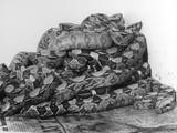 African Pythons Photographic Print