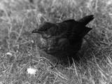 Blackbird Photographie