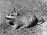 Viscacha Photographic Print