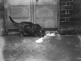 Cat Laps Up Spilt Milk Photographic Print