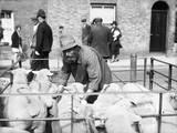 Sheep Marker Photographic Print