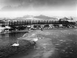 Swans on Frozen River Impressão fotográfica