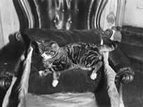 Spoilt Cat Photographic Print