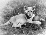 Cute Lion Cub Photographic Print