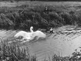 Angry Swan and Hound Impressão fotográfica
